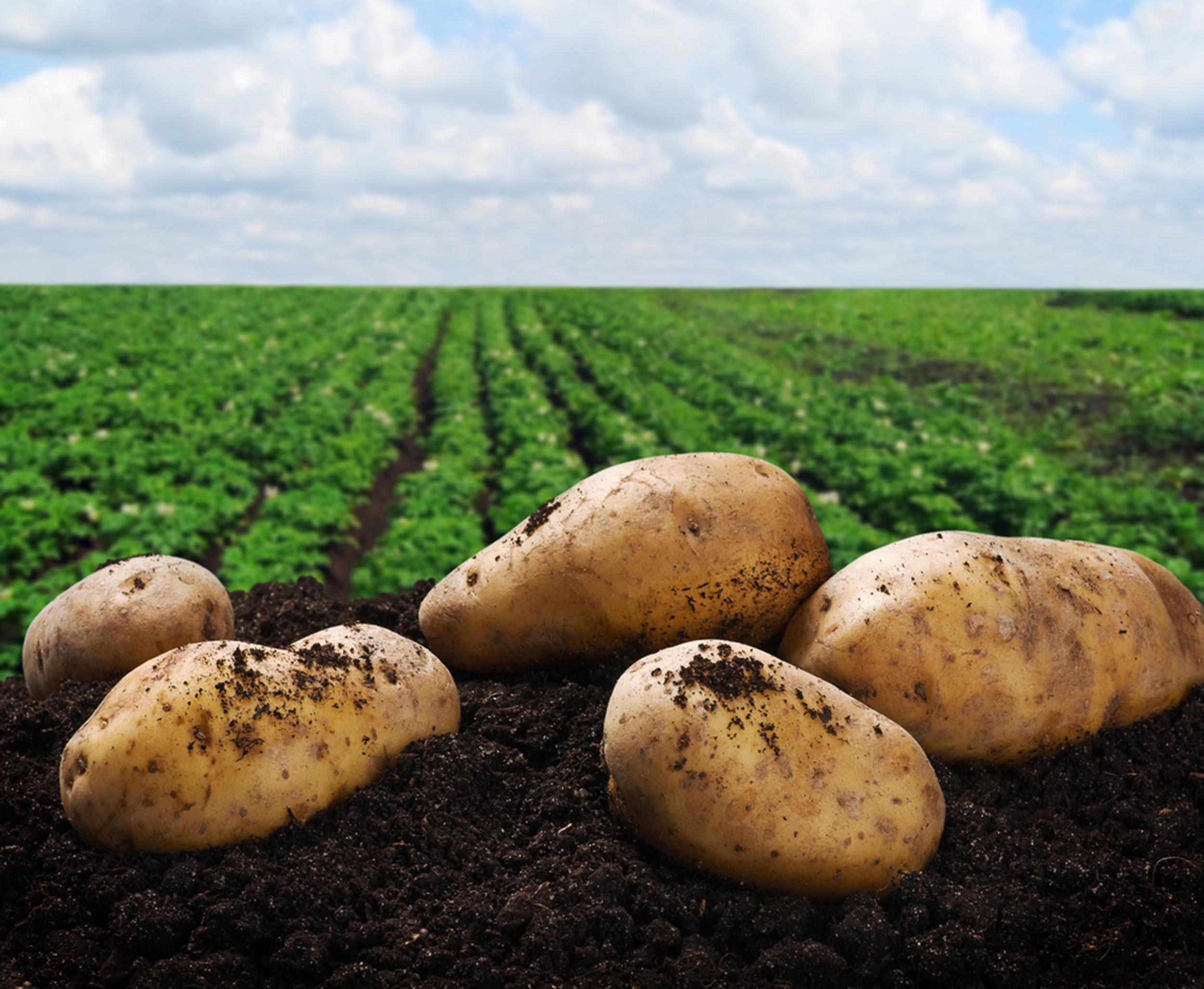 Amidon de pommes de terre